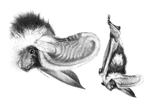 Spotted Bat Illustration