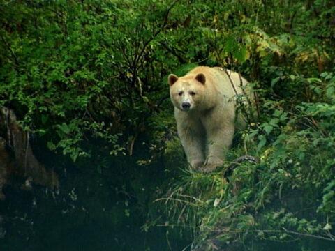 Wild Kermode Bear