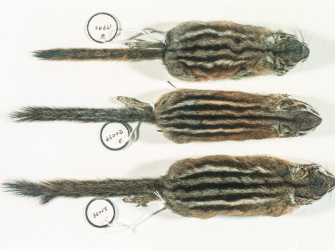 Top View Yellow-pine Chipmunk Study Skins