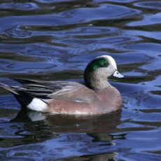 This is a photograph of an American Widgeon (Anas americana) in the water.