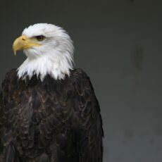 This is a photograph of the top part of a Bald Eagle (Haliaeetus leucocephalus).