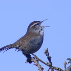 This is a photograph of a Bewick's Wren (Thryomanes bewickii) in mid-song with its beak open.