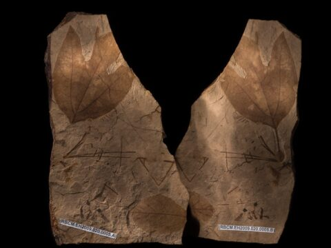 Fossil Leaves from Ancient Lakes