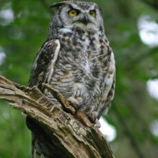 This is a photograph of a Great Horned Owl (Bubo virginianus) perched in a tree.