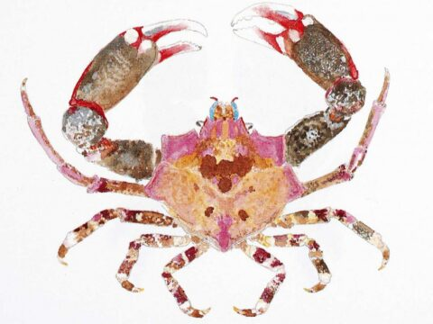 Foliate Kelp Crab Illustration