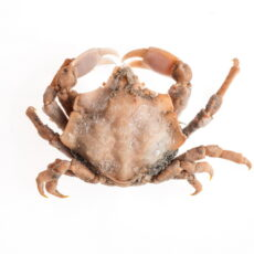 This is a photograph of a Foliate Kelp Crab (Mimulus foliatus) from the Royal BC Museum collection.