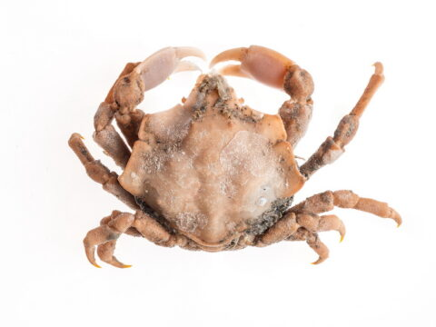 Foliate Kelp Crab