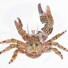 This is a water colour illustration of a Paxillose Crab (Oedignathus inermis).