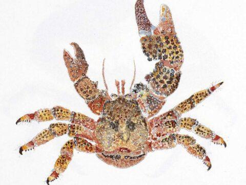 Paxillose Crab Illustration