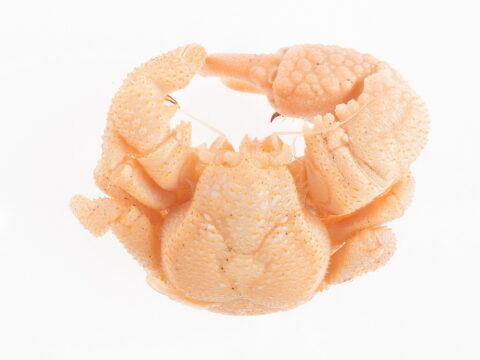 Paxillose Crab
