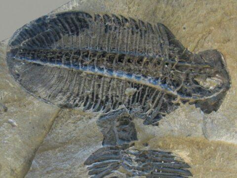 Ogygopsis klotzi