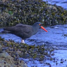 This is a photograph of a Black Oystercatcher (Haematopus bachmani) on a rock by the ocean.