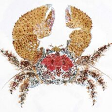 This is a water colour illustration of a Pubescent Porcelain Crab (Pachycheles pubescens).