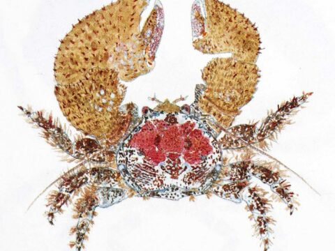 Pubescent Porcelain Crab Illustration