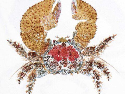Pubescent Porcelain Crab Illustration