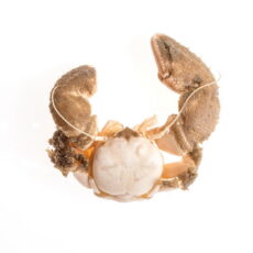 This is a Pubescent Porcelain Crab (Pachycheles pubescens) from the Royal BC Museum collection.