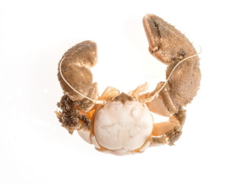 Pubescent Porcelain Crab