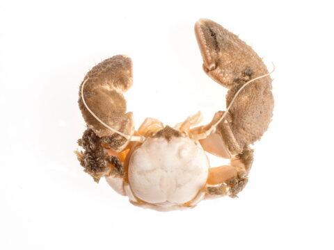 Pubescent Porcelain Crab