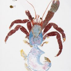 This is a water colour illustration of a Maroon Hermit Crab (Pagurus hemphilli).