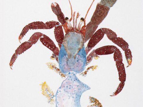 Maroon Hermit Crab Illustration