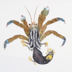 This is a water colour illustration of a Blue Band Hermit Crab (Pagurus samuelis).