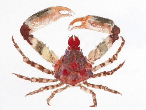 Sharp-Nosed Crab Illustration