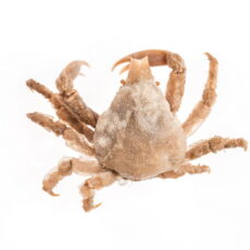 This is a photograph of a Sharp-Nosed Crab (Scyra acutifrons) from the Royal BC Museum collection.