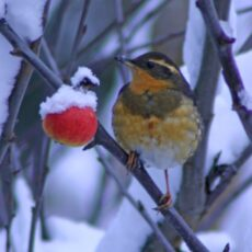 This is a photograph of a Varied Thrush (Ixoreus naevius) perched on a tree in snowy setting.