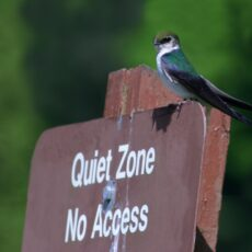 """This is a photograph of a Violet-green Swallow (Tachycineta thalassina) perched on a sign that reads """"Quiet Zone No Access""""."""