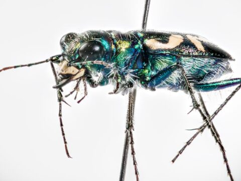 Dark Saltflat Tiger Beetle