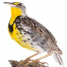 Image of a museum mount of a Western Meadowlark.