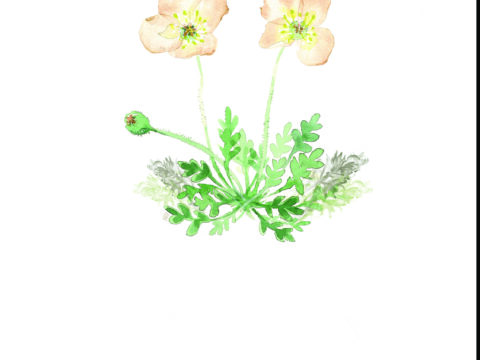 Pale Poppy drawing #1