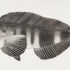 This is a black and white illustration of an Atka Mackerel fish.