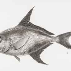 This is a black and white illustration of a Rough Pomfret fish.