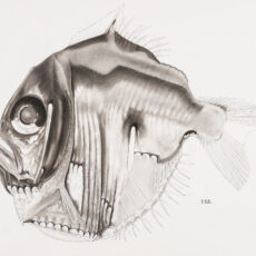 This is a black and white illustration of a Highlight Hatchetfish.