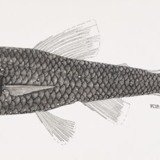 This is a black and white illustration of a Sunbeam Lampfish fish.