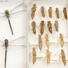 This is a photograph showing dragonflies pinned in boxes at the Royal BC Museum.