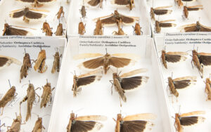 This is a photograph showing Carolina Grasshoppers pinned in boxes at the Royal BC Museum.