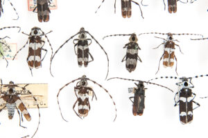 This is a photograph showing Banded Alder borer beetles in the Royal BC Museum collection.