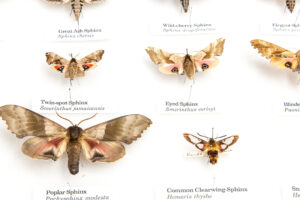 This is a photograph showing pinned specimens of Sphinx Moths at the Royal BC Museum.