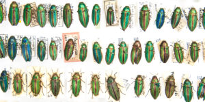 This is a photograph showing specimens of the colourful insect the Golden Buprestid (Buprestis aurulenta).