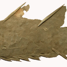 This is an image of a fossil Brochoadmone fish.