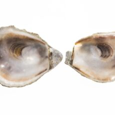 This is a photograph of the inside of two empty Olympia Oyster shells.