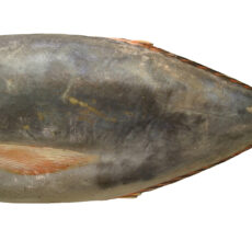 This is an image of a Louvar fish.