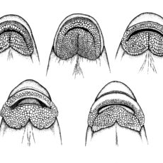 This is an image of five different species of sucker fish mouths as drawn by Dr. Gavin Hanke.