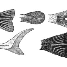 This is an image of an illustration of five different representative tails of BC freshwater fishes by Dr Gavin Hanke.