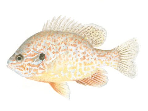 Pumpkinseed Fish