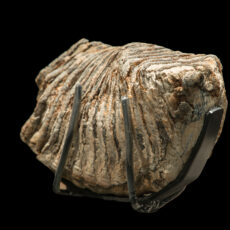 This is a photograph of a mammoth tooth on display at the Royal BC Museum.