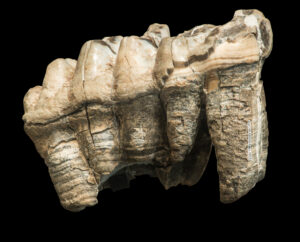 This is a photograph of a mastodon tooth at the Royal BC Museum.