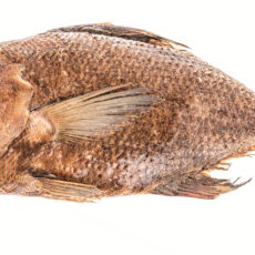This is a photograph of a museum specimen of a Rough Pomfret fish.